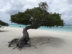 Divi-divi tree on Eagle Beach, Aruba, Sept 2018