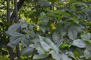 Shellbark leaflet + Fruit   by Greenthesedays