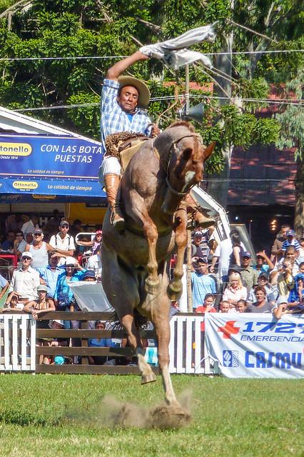 2010-03-28 Semana Criolla del Prado en Montevideo (23) - Ein Gaucho bei der 'Jineteada', dem Reiten eines ungezaehmten Pferdes. Wie beim amerikanischen Rodeo muss der Gaucho sich dabei eine bestimmte Zeit lang auf dem Ruecken des Pferdes halten, ohne abge