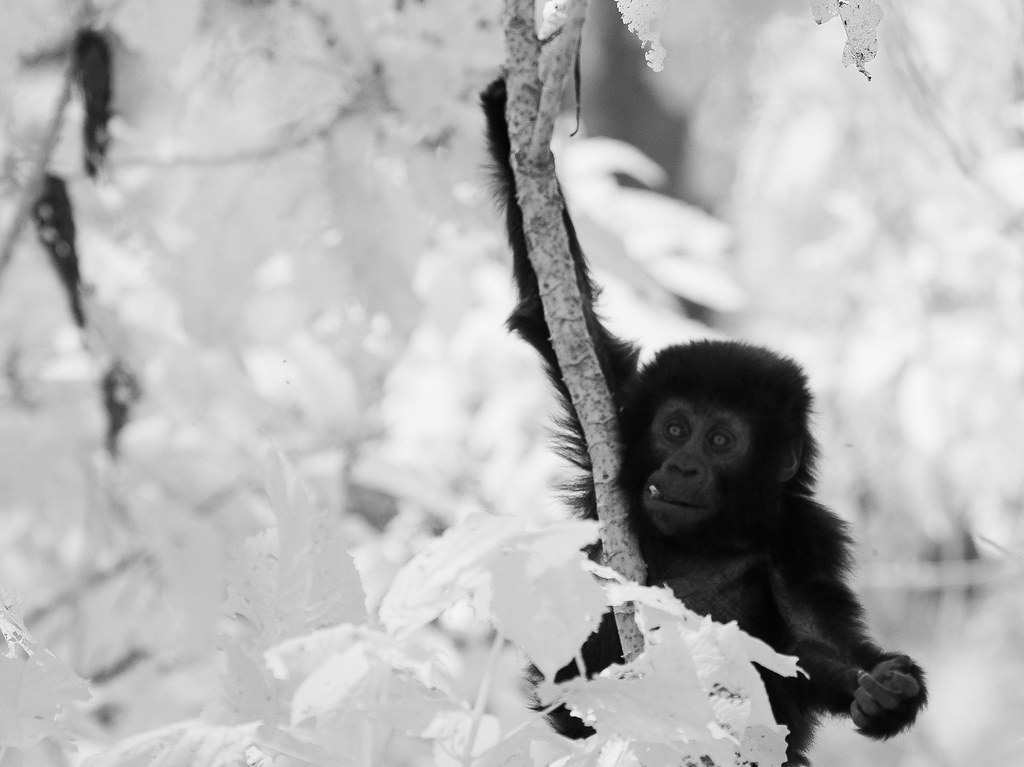 Gorilla IR_30
