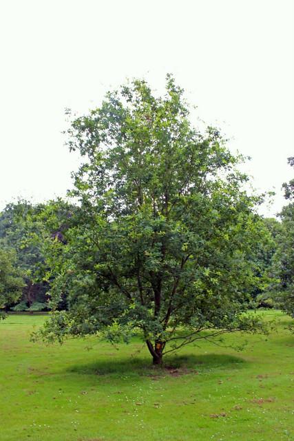 Quercus wutaishanica Mayr - BG Meise