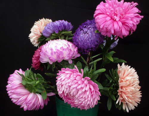 Aster's