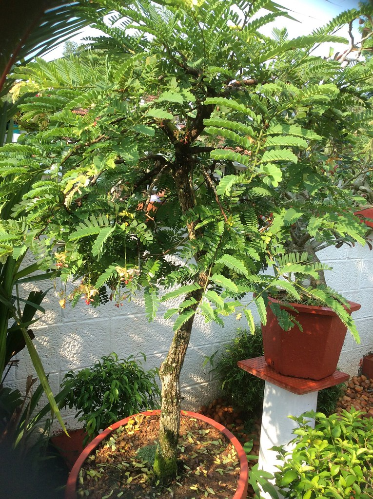 A Tamarind bonsai tree with flowers -