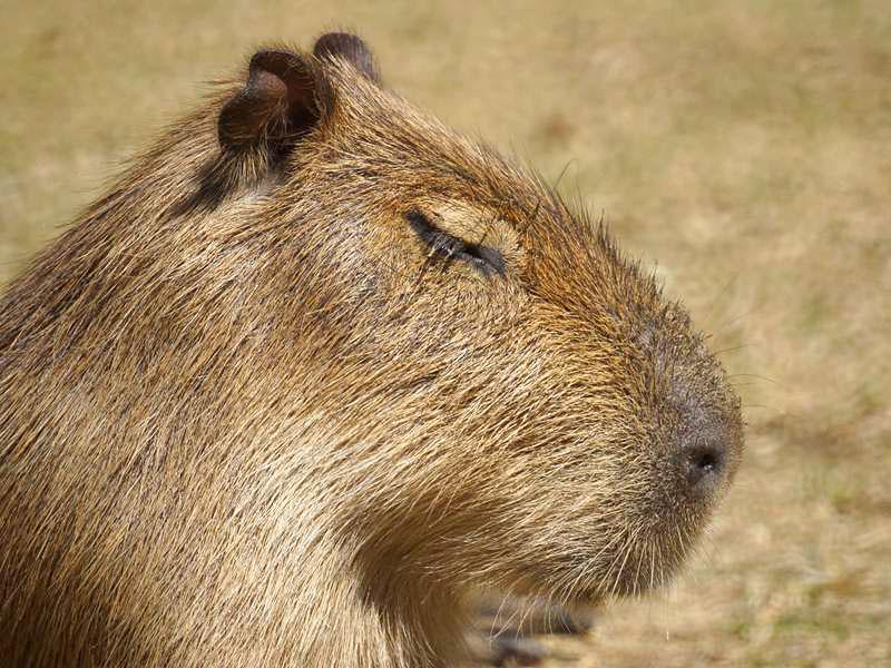 Capybara (Hydrochaeris hydrochaeris) im Kölner Zoo