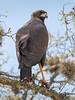 Águila Negra - Buteogallus urubitinga - Great Black-Hawk by Jorge Schlemmer