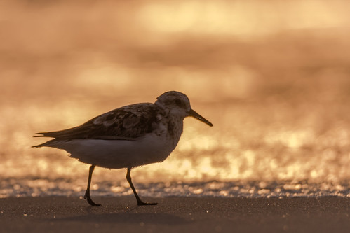 sanderling sand sunrise sun beach ocean nature nikond500 nikon newjersey bird birding birdwatching birds sigma150600sport sigma shorebirds shorebird stoneharbor stoneharborpoint