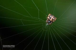 Spiny orb weaver (Gasteracantha sp.) - DSC_7842   by nickybay