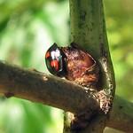 Vierfleckiger Kugelmarienkäfer (Brumus quadripustulatus) am Drachenfels