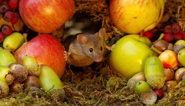 wild garden house mouse (5)