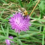 Ackerhummel (Bombus pascuorum) auf einer Blüte in der Nähe des Oefter Tals