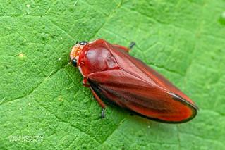 Red froghopper (Amberana marginata) - DSC_2068