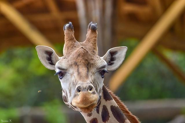 Insecte et girafe - 5785