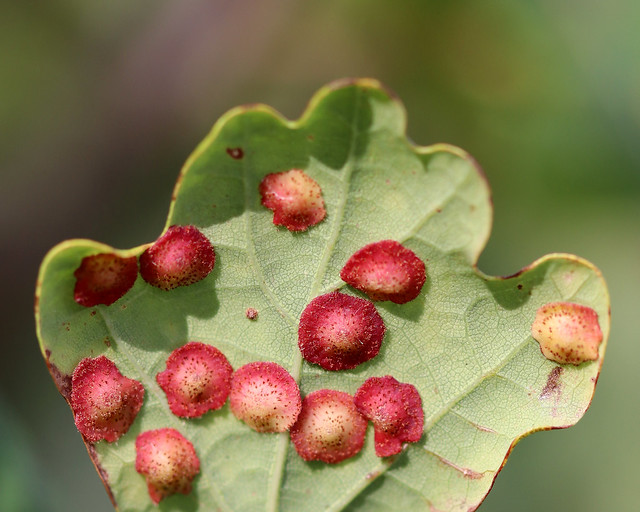 Spangle Galls - Defining Beauty!