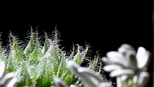 Haworthia bolusii var. blackbeardiana 42532074240_c7cd852248