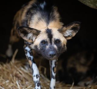 African Wild Dog_2 | by guppiecat