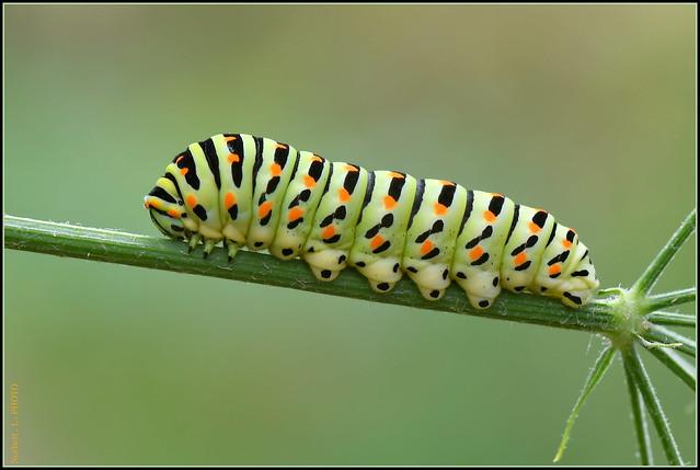 Chenille du papillon Machaon ( Papilio machaon )