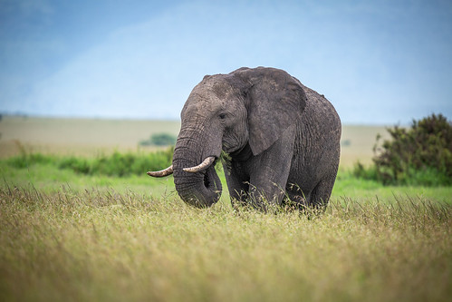 Mara Elephant | by ラルフ - Ralf RKLFoto