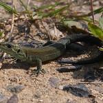 Waldeidechse (Viviparous Lizard, Zootoca vivipara)