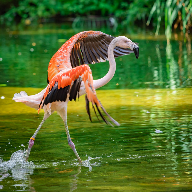 Diva Flamingo