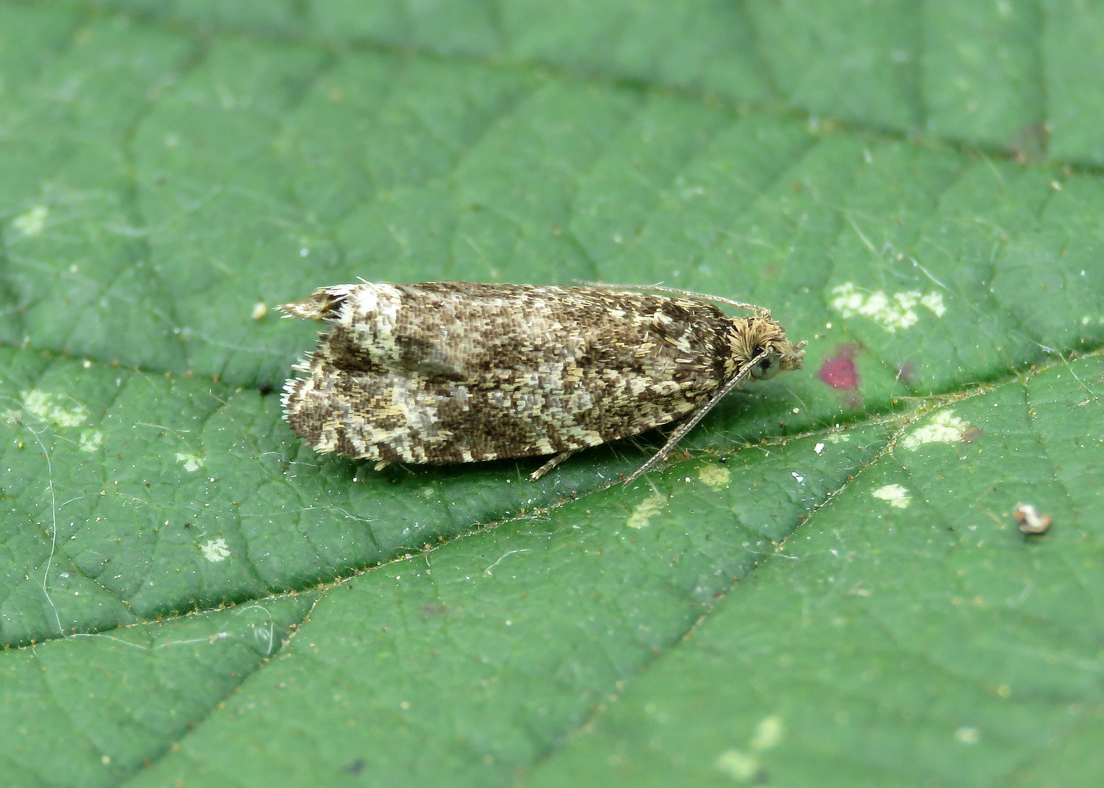 49.166 Common Marble - Celypha lacunana