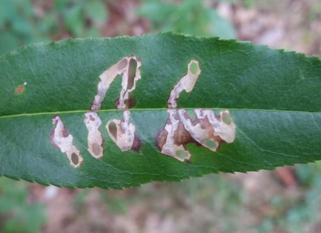 Coptodisca splendoriferella moth leaf mine on black cherry, Prunus serotina