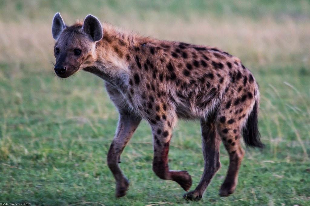 Maasai Mara_13sep18_10_hiena2