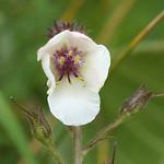 Schaben-Königskerze (Moth Mullein, Verbascum blattaria), weiße Form