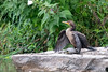 Double-crested Cormorant and its turtle. by mathurinmalby