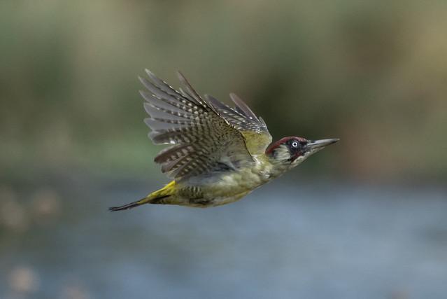 Green woodpecker in flight