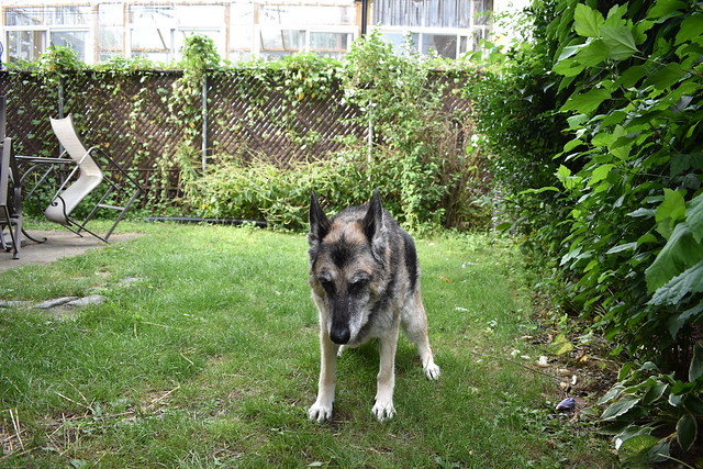 GSD- 14 Years Young