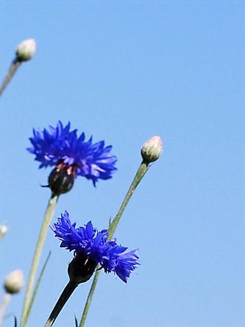 Bleuet sous un ciel bleu