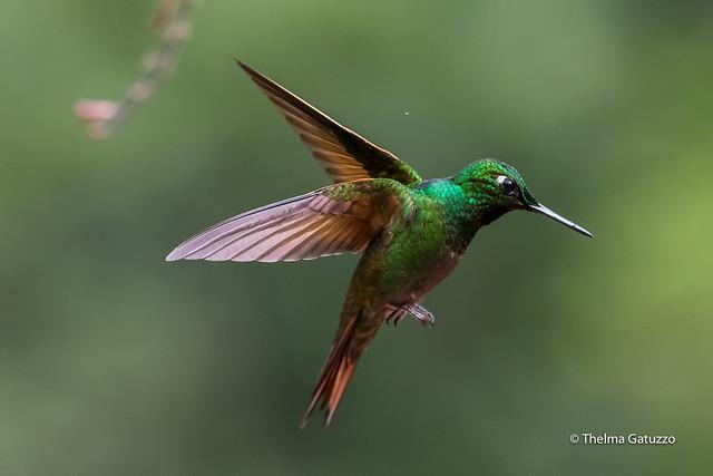 Brazilian Ruby in Flight