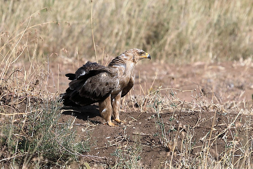 Tawny eagle | by dmmaus