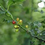Die Beeren der Europäischen Stechpalme (Ilex aquifolium) fallen im Oefter Tal schon aus einiger Entfernung auf