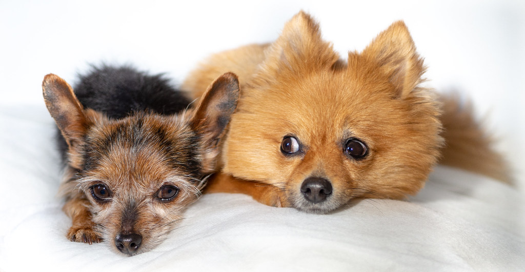 Beanz And Boo The Miniature Yorkshire Terrier And Pomerani Flickr