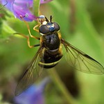 Breitband-Waldschwebfliege (Broad-banded Wood Hoverfly, Dasysyrphus tricinctus)
