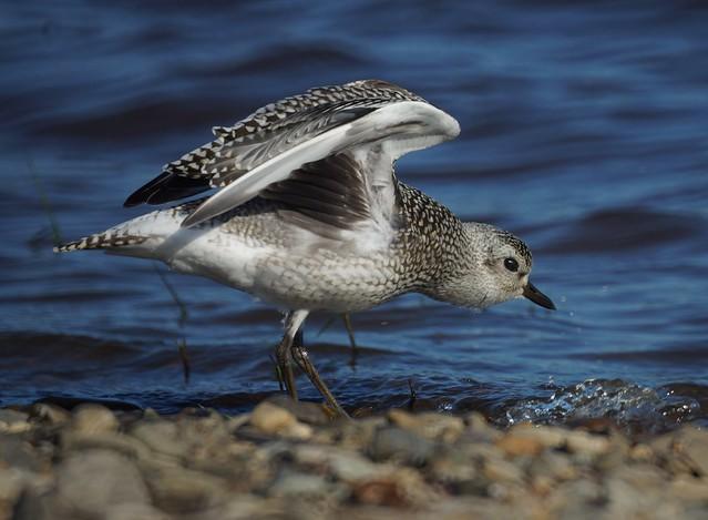 Grey Plover, Pluvialis squatarola, Тулес