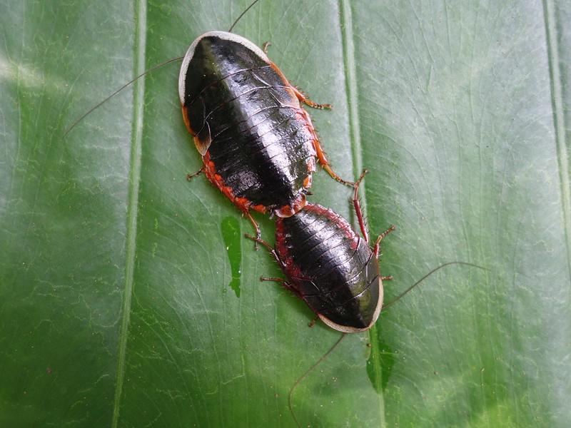東方水蠊交尾,體型較大者為雌性。