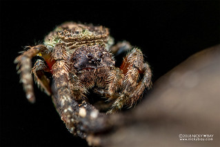 Broad-headed bark spider (Caerostris sp.) - DSC_1689 | by nickybay