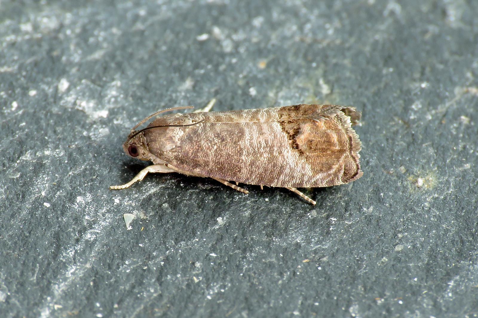49.338 Codling Moth - Cydia pomonella