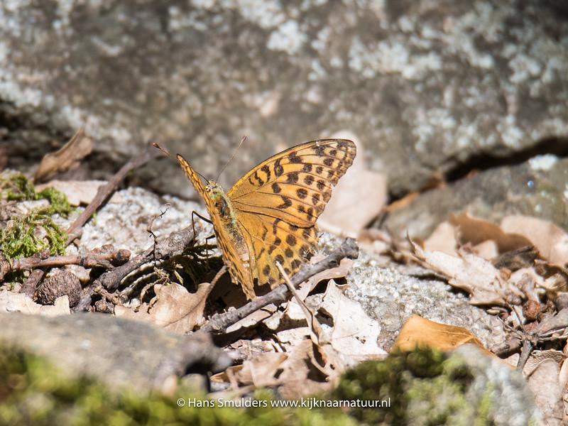Duinparelmoervlinder (Argynnis niobe)-818_5580