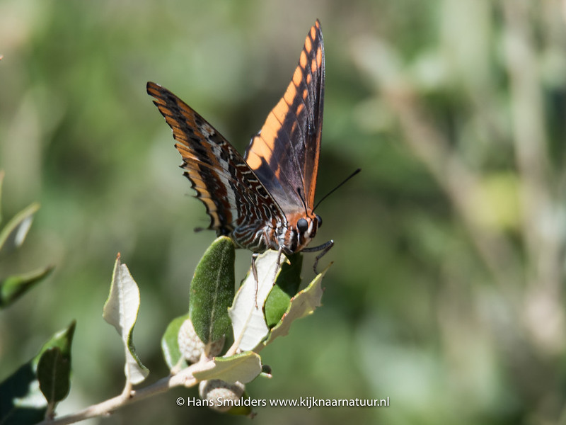 Jasiusvlinder of Pasja (Charaxes jasius jasius)-818_5744