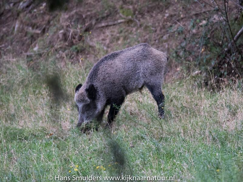 Wild zwijn (Sus scrofa)-818_5904