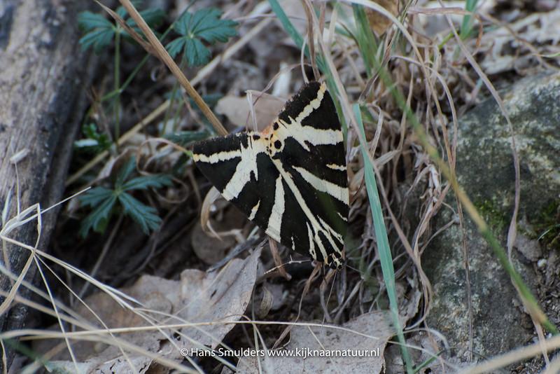 De Spaanse vlag (Euplagia quadripunctaria)-818_5699