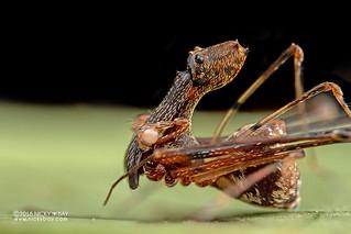 Assassin spider / Pelican spider (Eriauchenius sp.) - ESC_0089 | by nickybay