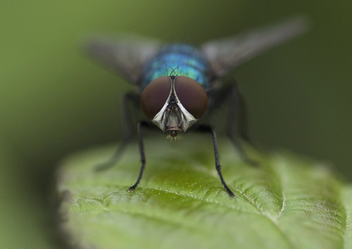 fly insect macro canon7dmarkii eyes nature