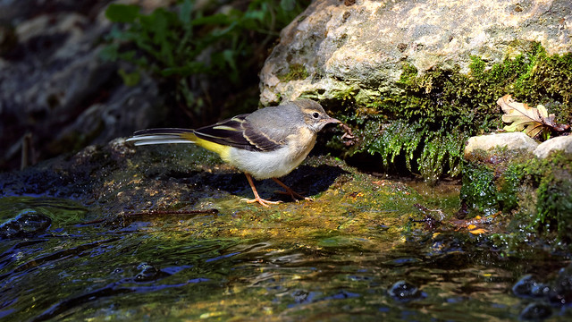 a Wagtail on a waterfall