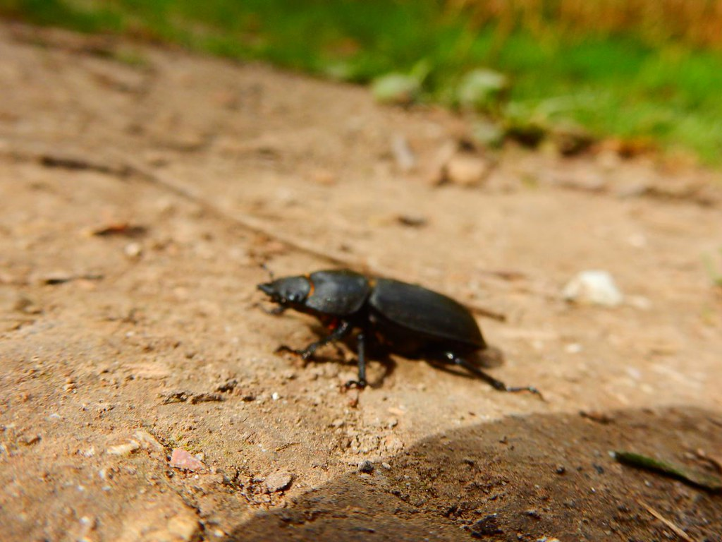 Big black bug Possibly a Churchyard Beetle - but not near one. Princes Risborough to Wendover