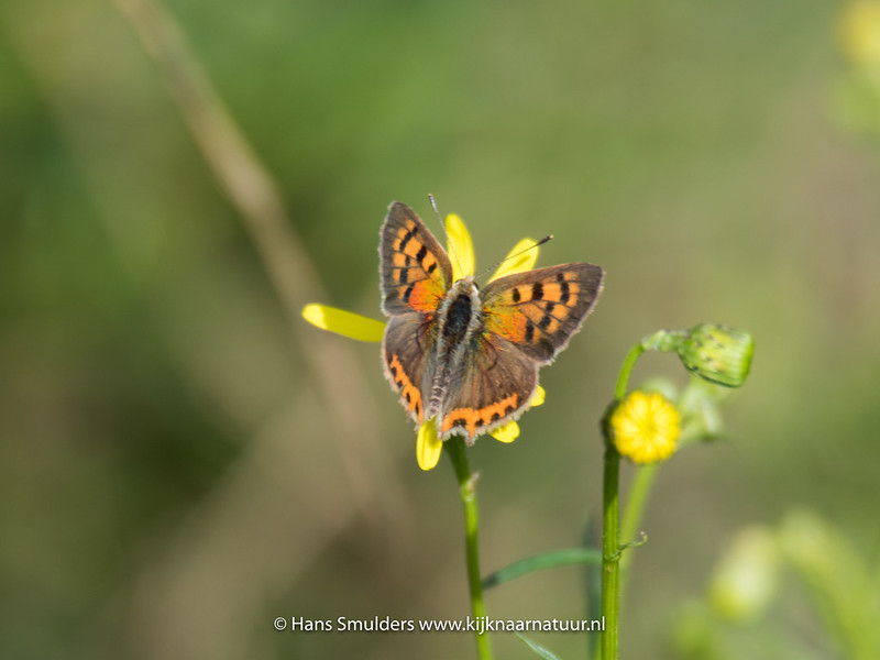 Kleine vuurvlinder (Lycaena phlaeas)-818_5778