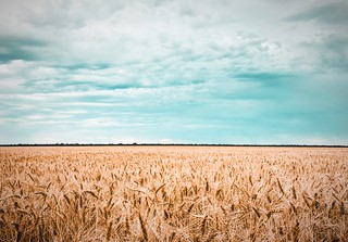 Wheat field | by joncutrer